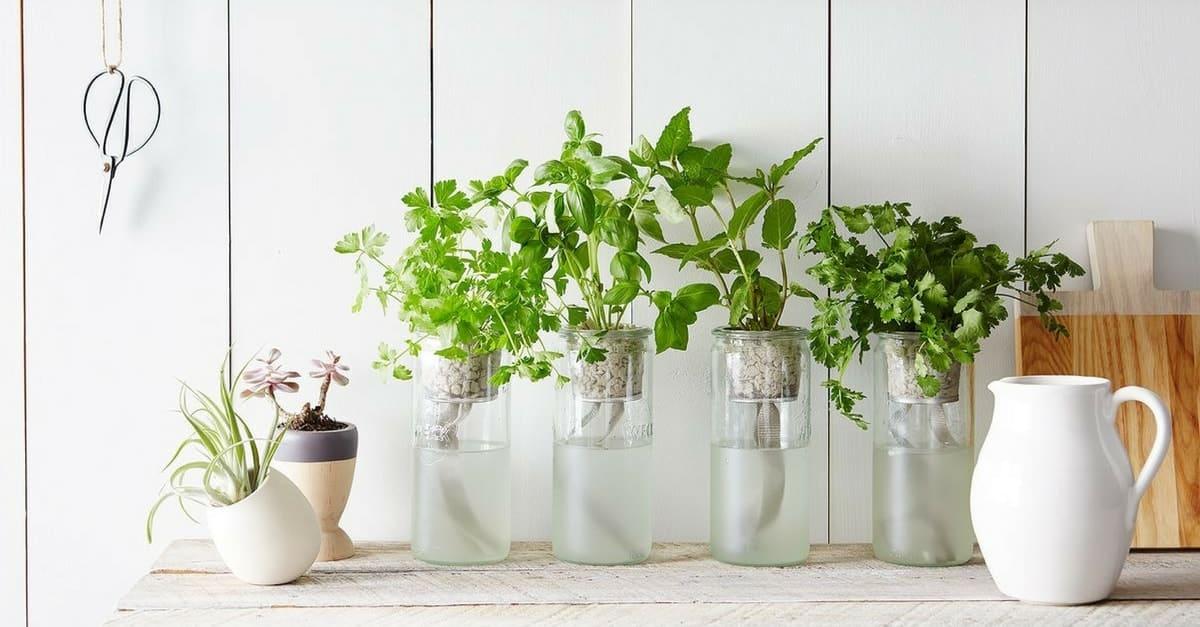 10 plantas arom ticas que n o precisam de terra para crescer - Plantas de interior aromaticas ...