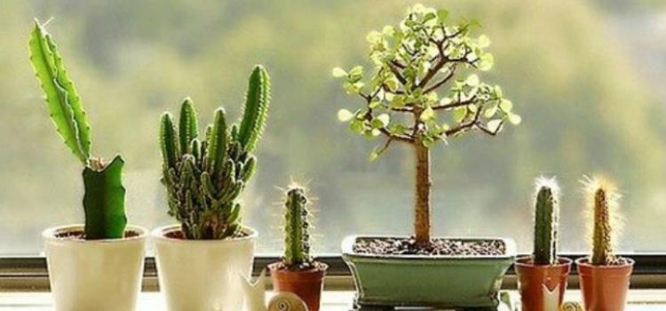 planta cactos energia positiva