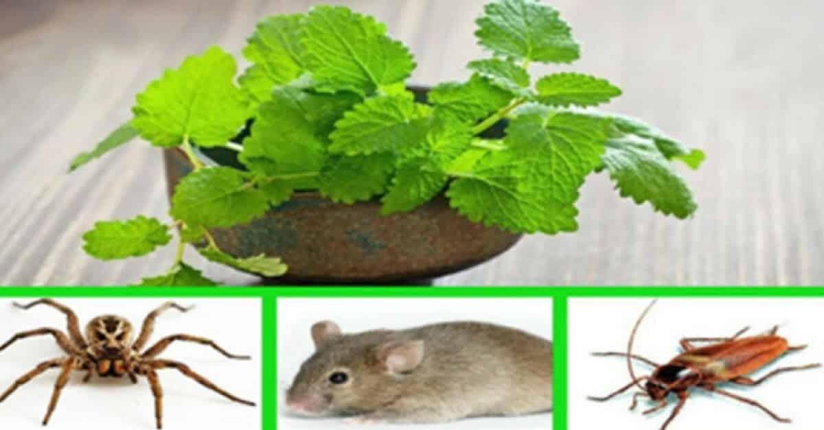 Conhe a a planta que vai livrar sua casa de ratos baratas for Plantas baratas