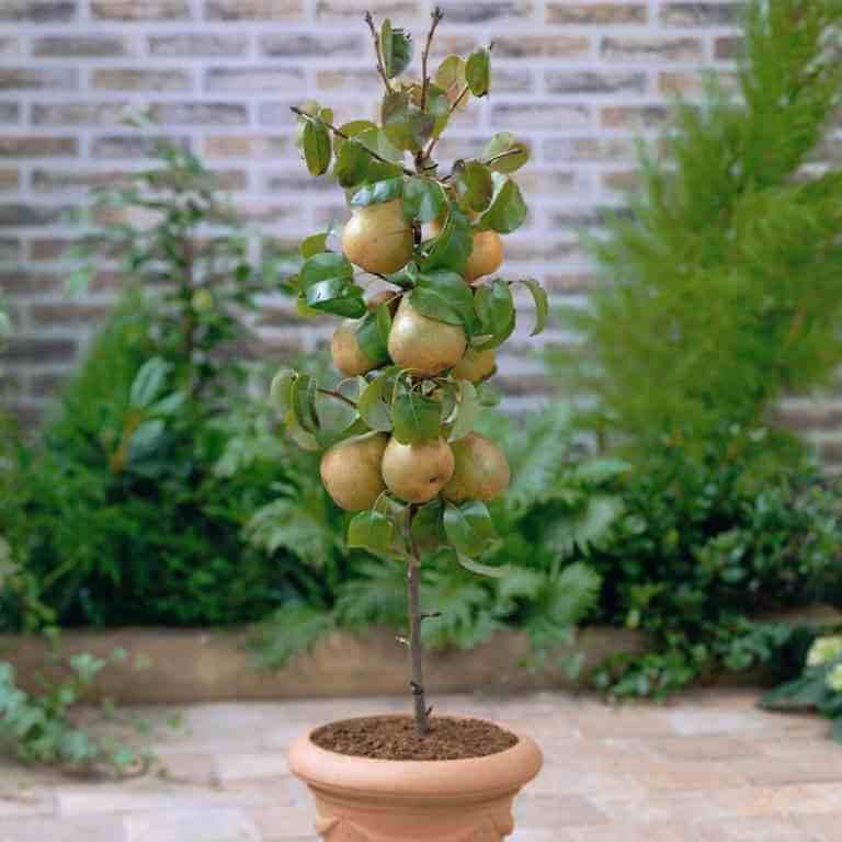 Extremamente Aprenda a plantar uma árvore de frutos em sua casa, com 10 simples  KV17