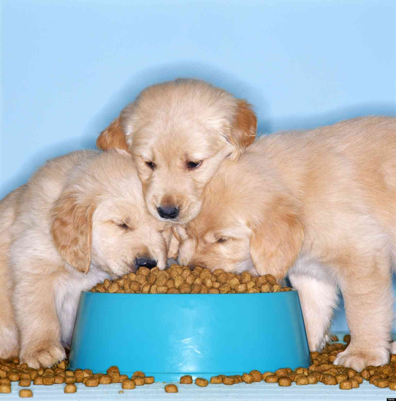 Puppies eating dog food