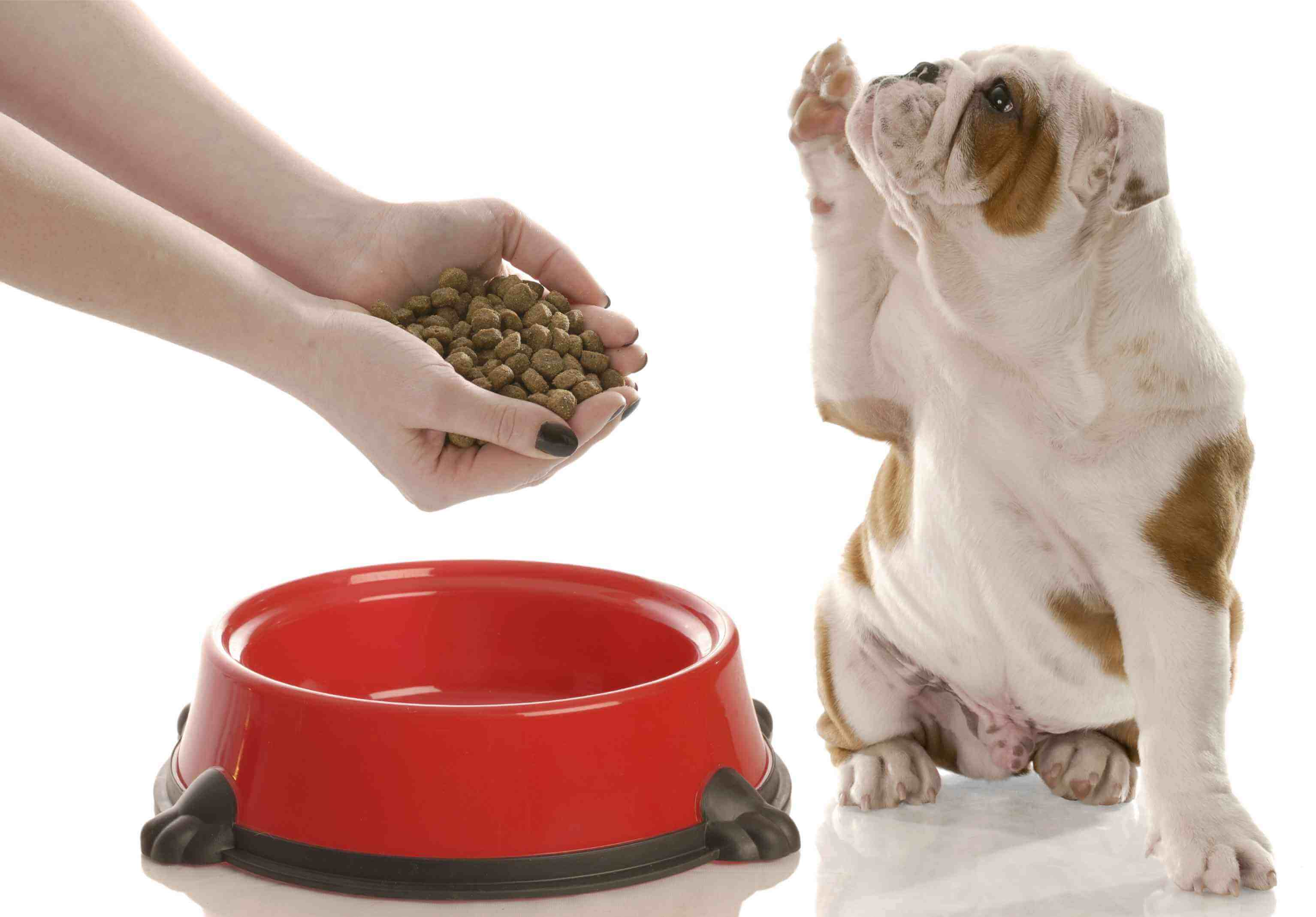 english bulldog puppy holding paw up begging for owner to feed him
