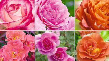 Resultado de imagem para DICAS TERAPÊUTICAS - Benefícios da Rosa